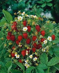 Alpine strawberry Rujana 2g