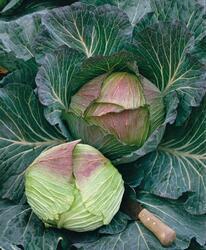 Cabbage Pourovo pozdní (Pour's Late) 10g