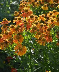 Helenium autumnale Red Gold 0,25g