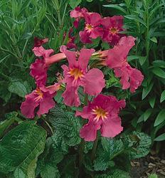 Incarvillea delavayi Rose 1g