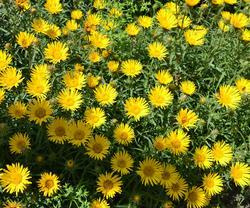 Inula ensifolia Golden Yellow 0,5g