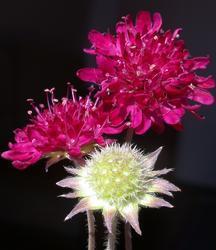 Knautia macedonica 0,5g