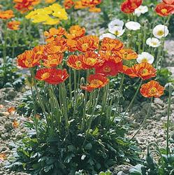 Papaver nudicaule Garden Gnome 1000 seeds - 1