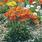 Papaver nudicaule Garden Gnome 1000 seeds - 1/2