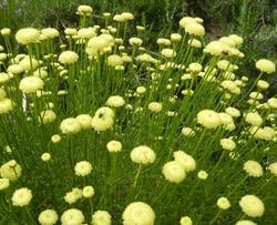 Santolina rosmarinifolia 0,10g
