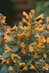 Agastache a. Arizona Sandstone 250 semen