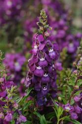 Angelonia Serenita Purple 100 pellets
