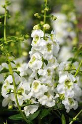 Angelonia Serenita White 100 pelet