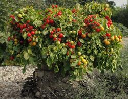 Bush-like tomato Bajaja 5g