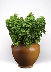 Ocimum b.- Basil Everleaf Emerald Towers 300 seeds
