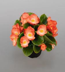 Begonia semp. Sprint Orange Bicolor F1 1000 pelet