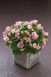Begonia semp. Fiona Pink  F1 500 pelet