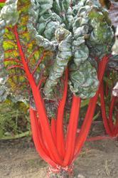 Beta v. subsp. cicla Rubhard Chard Red 10g