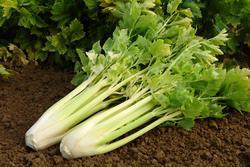 Celer řapíkatý Nuget 5g