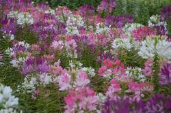Cleome spinosa Fountain Mix 2g