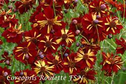 Coreopsis tinctoria Roulette FSN 0,20g