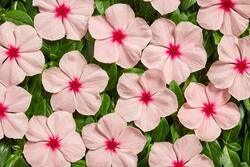 Catharanthus r. Volcano Apricot F1 250 seeds