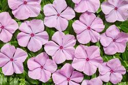 Catharanthus r. Volcano Lavender F1 250 seeds