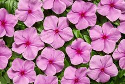 Catharanthus r. Volcano Orchid F1 250 seeds