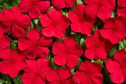 Catharanthus r. Volcano Red F1 250 seeds