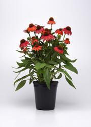 Echinacea hybrida Red F1 100 seeds