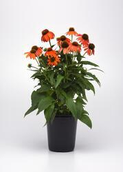 Echinacea hybrida Soft Orange F1 100 semen