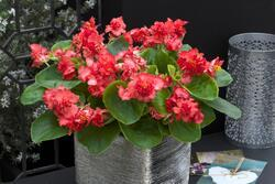 Begonia s. Fiona Red F1 500 pelet - 1