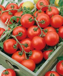Pole tomato Stupické polní rané  10g