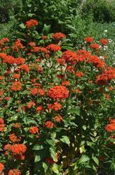 Lychnis chalcedonica Scarlet 0,5g