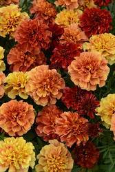 Tagetes patula Strawberry Blonde 200 semen - 1