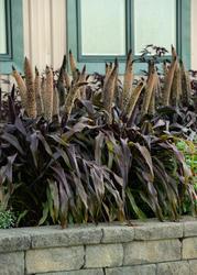 Pennisetum glaucum Copper Prince F1 100 semen - 1