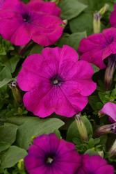 Petunia h. Lo Rider Violet F1 250 pellets
