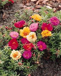 Portulaca grandiflora Plnokvětá 1g