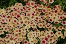 Phlox drumondii Cherry Caramel 2g