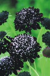 Scabiosa atropurpurea Black Knight 500 semen