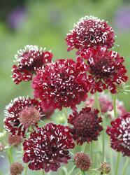 Scabiosa atropurpurea Fire King 500 seeds
