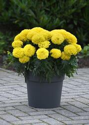 Tagetes erecta Marvel II Yellow F1 200 seeds