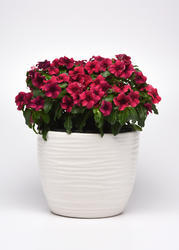 Catharanthus r. Tattoo Black Cherry 250 semen - 1