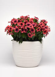 Catharanthus r. Tattoo Black Papaya 250 semen - 1