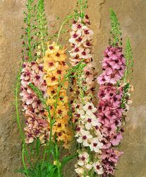 Verbascum h. Southern Charm 100 pellets