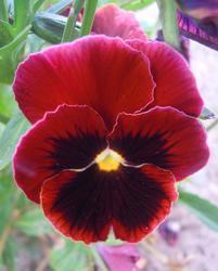 Viola x w. Abendglut 1g