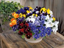Viola x w. Inspire Mix F1  500 seeds