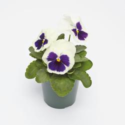 Viola x w. Inspire bílá s okem  F1 500s - 1