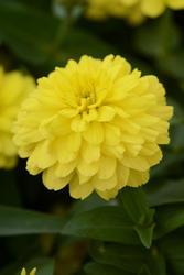 Zinnia m. Double Zahara™ Yellow 100 seeds