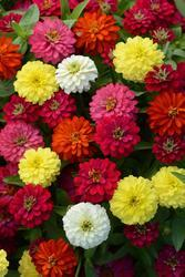 Zinnia m. Zahara Double Mix 100s