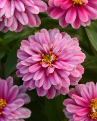 Zinnia m. Zahara Double Raspberry Ripple 100 seeds
