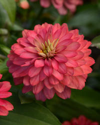Zinnia m. Zahara Double Salmon 100 seeds