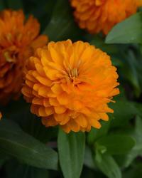 Zinnia m. Zahara Double Bright Orange 100s - 1