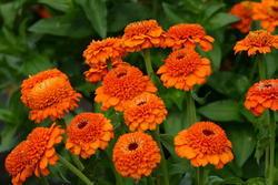 Zinnia Zinderella Orange 100 seeds