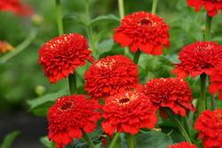 Zinnia Zinderella Red 100 semen